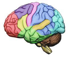 brain colored