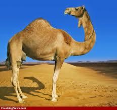 deve camel