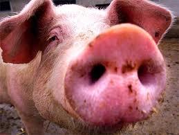 Pig Domuz